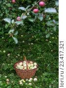 Купить «Полная корзина яблок стоит под яблоней на дачном участке после дождя», фото № 23417321, снято 20 августа 2016 г. (c) Николай Винокуров / Фотобанк Лори