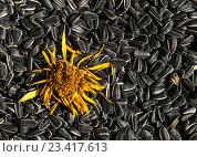 Засушенный цветок герберы на семенах подсолнечника. Стоковое фото, фотограф Константин Пекарь / Фотобанк Лори