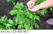 Купить «Женщина собирает колорадских жуков с картофельных листьев (Leptinotarsa decemlineata)», видеоролик № 23426861, снято 15 июня 2016 г. (c) Володина Ольга / Фотобанк Лори