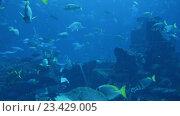 Купить «Кораллы и рыбы-хирурги в большом аквариуме», видеоролик № 23429005, снято 24 октября 2014 г. (c) Elnur / Фотобанк Лори
