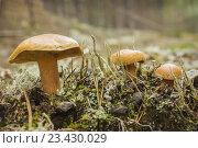 Купить «Козляк (Suillus bovinus), условно съедобный гриб», фото № 23430029, снято 20 августа 2016 г. (c) Александр Романов / Фотобанк Лори