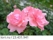 Купить «Розовые розы в саду», фото № 23431941, снято 20 июля 2016 г. (c) Ирина Носова / Фотобанк Лори