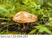 Гриб растет в лесу. Стоковое фото, фотограф Юра Добро / Фотобанк Лори