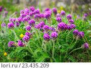 Клевер луговой (Trifolium pratense L.) Стоковое фото, фотограф Роман Ушаков / Фотобанк Лори
