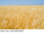 Рожь в поле. Стоковое фото, фотограф Ivan Dubenko / Фотобанк Лори