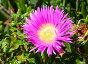 Pink flowers (Carpobrotus) closeup., фото № 23439461, снято 11 мая 2016 г. (c) Юрий Брыкайло / Фотобанк Лори