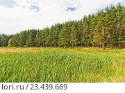 Купить «Заросли рогоза около соснового леса», эксклюзивное фото № 23439669, снято 12 августа 2016 г. (c) Макаров Алексей / Фотобанк Лори