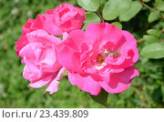 Купить «Кузнечик в цветке розы», фото № 23439809, снято 27 июля 2016 г. (c) Ирина Носова / Фотобанк Лори