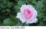 Купить «blossoming roses plant», видеоролик № 23440305, снято 13 мая 2016 г. (c) Яков Филимонов / Фотобанк Лори