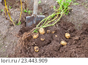Digging potatoes with shovel on the field from soil. Potatoes harvesting in autumn, фото № 23443909, снято 17 августа 2016 г. (c) FotograFF / Фотобанк Лори