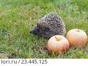 Купить «Еж обыкновенный (лат. Erinaceus europaeus)  с яблоками на траве», фото № 23445125, снято 29 августа 2016 г. (c) Наталья Гармашева / Фотобанк Лори