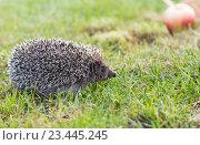 Ежик (лат. Erinaceus europaeus)  бежит по траве. Стоковое фото, фотограф Наталья Гармашева / Фотобанк Лори