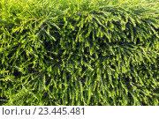 Купить «Green needles texture (background).», фото № 23445481, снято 22 мая 2016 г. (c) Юрий Брыкайло / Фотобанк Лори