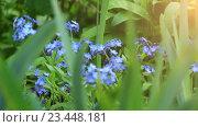 Купить «Myosotis is flowering plant, family Boraginaceae», видеоролик № 23448181, снято 18 августа 2016 г. (c) BestPhotoStudio / Фотобанк Лори