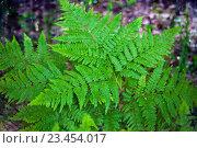 Купить «Natural background. Leaves of fern in the forest», фото № 23454017, снято 5 июня 2016 г. (c) Татьяна Белова / Фотобанк Лори