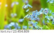 Купить «Myosotis is flowering plant, family Boraginaceae», видеоролик № 23454809, снято 19 августа 2016 г. (c) BestPhotoStudio / Фотобанк Лори