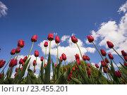 Красные тюльпаны на фоне голубого неба. Стоковое фото, фотограф Александр Степанов / Фотобанк Лори