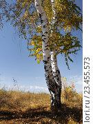 Береза. Осень. Стоковое фото, фотограф Дмитрий Третьяков / Фотобанк Лори