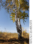 Купить «Береза. Осень», фото № 23455573, снято 17 февраля 2019 г. (c) Дмитрий Третьяков / Фотобанк Лори
