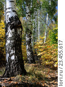 Купить «Береза. Осень. Дерево», фото № 23455617, снято 17 февраля 2019 г. (c) Дмитрий Третьяков / Фотобанк Лори