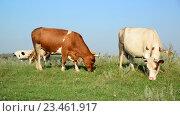 Пасущиеся на лугу коровы. Стоковое видео, видеограф Володина Ольга / Фотобанк Лори