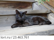 Купить «Черная кошка лежит на деревянном крыльце», эксклюзивное фото № 23463761, снято 1 сентября 2016 г. (c) Елена Коромыслова / Фотобанк Лори
