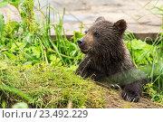 Бурый медвежонок. Стоковое фото, фотограф Юлия Машкова / Фотобанк Лори