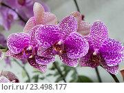 Орхидея Фаленопсис фиолетовая пятнистая. Стоковое фото, фотограф Галина Савина / Фотобанк Лори