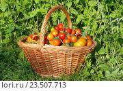 Купить «Помидоры в корзине на траве», фото № 23507713, снято 28 августа 2016 г. (c) Елена Коромыслова / Фотобанк Лори