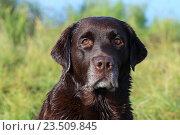 Купить «Шоколадный лабрадор. Портрет собаки на фоне береговых зарослей», фото № 23509845, снято 10 сентября 2016 г. (c) Григорий Писоцкий / Фотобанк Лори
