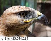 Купить «Голова степного орла крупным планом в профиль», фото № 23510229, снято 7 июня 2016 г. (c) Вячеслав Палес / Фотобанк Лори
