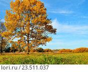 Купить «Осенний дуб с желтыми листьями в солнечную погоду - осенний пейзаж», фото № 23511037, снято 4 октября 2015 г. (c) Зезелина Марина / Фотобанк Лори