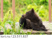 Купить «Небольшой бурый медведь на пирсе. Курильское озеро», фото № 23511837, снято 13 августа 2016 г. (c) Юлия Машкова / Фотобанк Лори