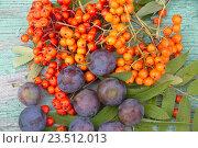 Купить «Ягоды рябины и плоды сливы», фото № 23512013, снято 28 августа 2016 г. (c) Наталия Кузнецова / Фотобанк Лори
