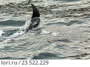 Купить «Косатки - Orcinus orca, Тихий океан. Акватория возле полуострова Камчатка», фото № 23522229, снято 28 августа 2016 г. (c) Юлия Машкова / Фотобанк Лори