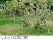 Купить «Карликовые яблони в саду», фото № 23524581, снято 21 августа 2016 г. (c) Короленко Елена / Фотобанк Лори