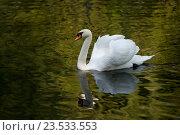 Белый лебедь в лесном озере. Стоковое фото, фотограф Сергей Панкин / Фотобанк Лори