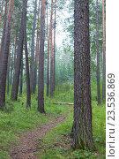 Тропинка в сибирском сосновом лесу в августе. Стоковое фото, фотограф Константин Мезенцев / Фотобанк Лори