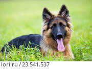 Купить «Young dog german shepherd lying on the grass in the park», фото № 23541537, снято 1 октября 2015 г. (c) Оксана Кузьмина / Фотобанк Лори