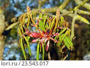 Купить «Соцветия и молодые листья каштана (лат. Castanea)», фото № 23543017, снято 18 апреля 2016 г. (c) Сергей Трофименко / Фотобанк Лори