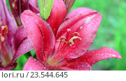 Купить «Красивые розовые лилии в каплях воды после дождя», видеоролик № 23544645, снято 12 июля 2016 г. (c) Володина Ольга / Фотобанк Лори