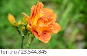 Купить «Оранжевая лилия на клумбе в саду крупным планом», видеоролик № 23544845, снято 12 июля 2016 г. (c) Володина Ольга / Фотобанк Лори