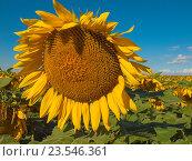 Большой подсолнух на поле. Стоковое фото, фотограф Игорь Ворончихин / Фотобанк Лори