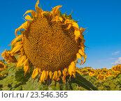 Большой подсолнух. Стоковое фото, фотограф Игорь Ворончихин / Фотобанк Лори
