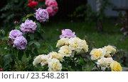 Купить «Фрагмент сада с розами различных цветов», видеоролик № 23548281, снято 8 июля 2016 г. (c) Володина Ольга / Фотобанк Лори