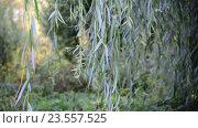 Купить «Ветви плакучей ивой крупным планом», видеоролик № 23557525, снято 10 августа 2016 г. (c) Володина Ольга / Фотобанк Лори