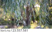 Купить «Ветви плакучей ивой крупным планом», видеоролик № 23557581, снято 10 августа 2016 г. (c) Володина Ольга / Фотобанк Лори