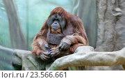 Купить «Самец орангутана», видеоролик № 23566661, снято 9 марта 2015 г. (c) Сергей Лаврентьев / Фотобанк Лори