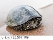 Купить «Волжская речная черепаха сидит на песке возле воды», эксклюзивное фото № 23567109, снято 5 августа 2016 г. (c) Игорь Низов / Фотобанк Лори