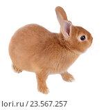 Купить «Карликовый кролик, изолировано на белом фоне», фото № 23567257, снято 9 апреля 2016 г. (c) Игорь Долгов / Фотобанк Лори